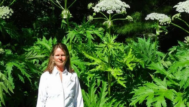 Jill Hapner, executive director of the Southeastern Wisconsin Invasive Species Consortium Inc., stands in front giant hogweed plants in Sheboygan last month.