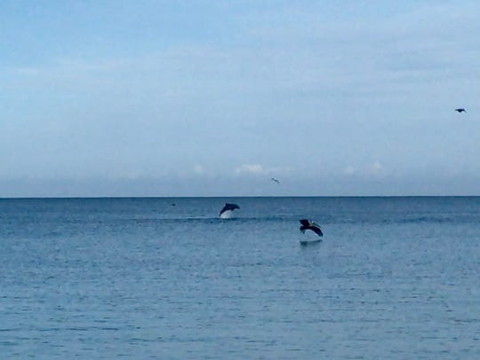 Several dolphins could be seen jumping offshore at