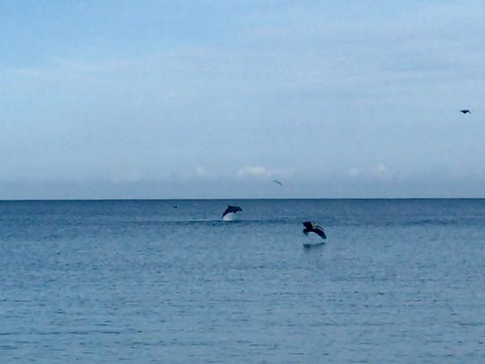 Several dolphins could be seen jumping offshore at Wiggins Pass Tuesday, Sept. 5, 2017.