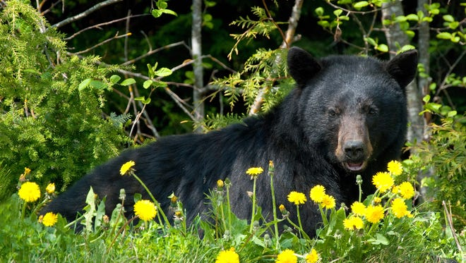 Black bears may look cuddly but don't get too close!