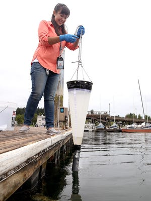 Dayna Katula, an environmental health specialist with the Kitsap Public Health District, takes a phytoplankton sample at Silverdale Waterfront Park last week. Katula spends her days testing for toxins that could potentially be fatal to humans, including paralytic shellfish poison.