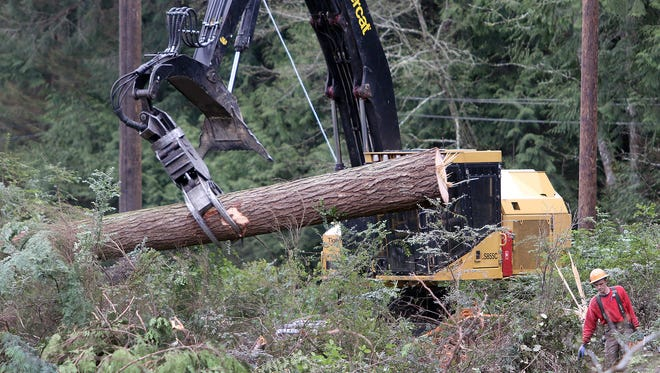 Tree faller Arthur Marty of Carnation moves on to cut another tree  at a Pope Resources timber harvest near Hansville on Thursday. Pope has permits to log 333 acres.