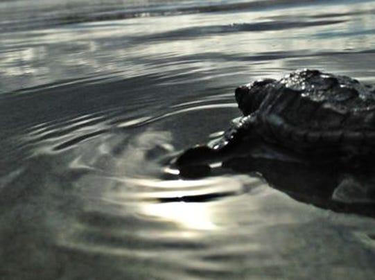 1407170826006-Sea-Turtle-Hatchlings-22