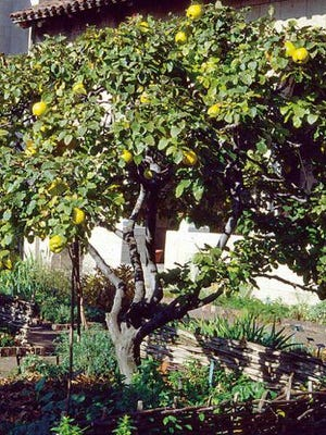 In fall, bright yellow quince fruits call out to be harvested from among the small tree's craggy stems.