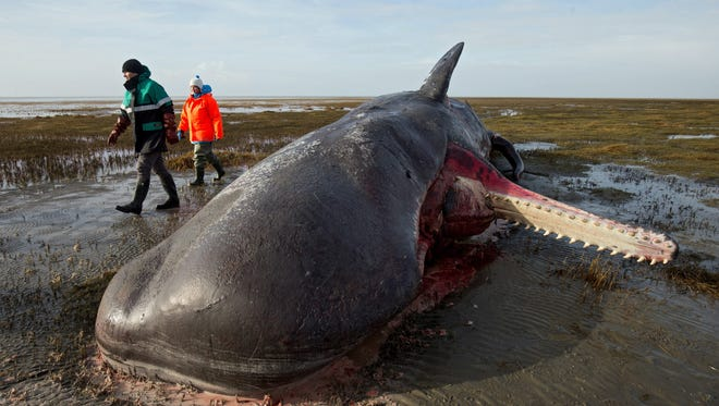 Robert Habeck (L), Environment Minister of German federal state Schleswig-Holstein, and marine-mammal specialist Ursula Siebert standing next to a dead sperm whale on the mudflats near the Kaiser-Wilhelm polder in Germany, 3 February 2016.
