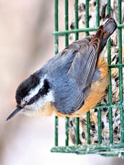 Birdwatcher Mike Sargent reported a red-breasted nuthatch