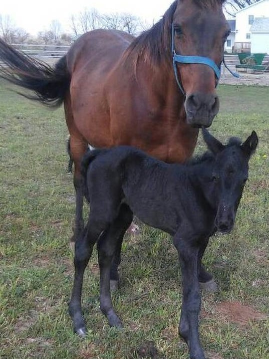 BlackBeautyFoal.jpg