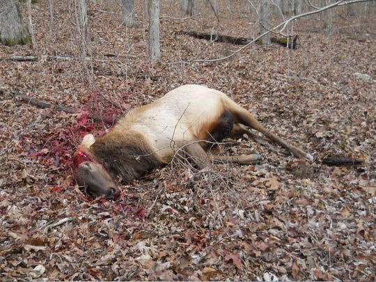 A poacher shot this bull elk and chainsawed the  antlers