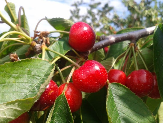 Montmorency cherries mostly grow in Michigan and Wisconsin