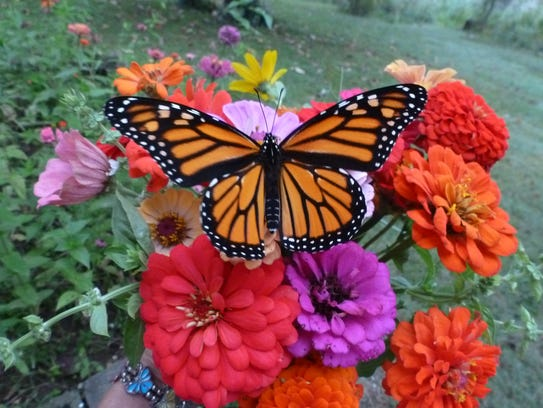 A monarch butterfly feeds on a colorful bouquet of