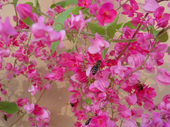 No other desert flower draws as many bees for most