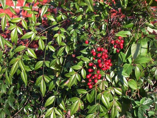 Nandina in the southern range limit, are now out of