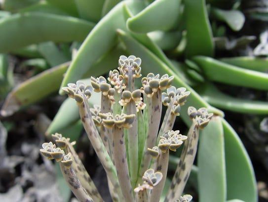 Bryophyllum delagoensis produces its plantlets at the