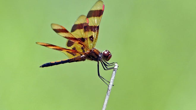 A Halloween pennant dragonfly sits atop a tall reed near the pond at Byers Woods on Wednesday. Halloween pennants' natural habitat are wet meadows and they can often be found on the tall reeds or grass near marshes, ponds or by creeks and streams.
