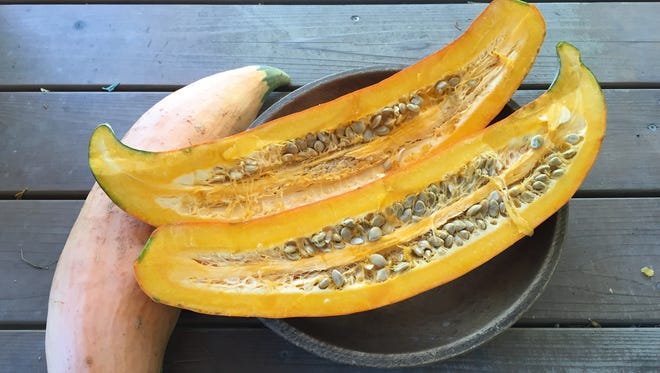 North Georgia Candy Roaster Squash is an heirloom variety from Hudson Valley Seed Company.