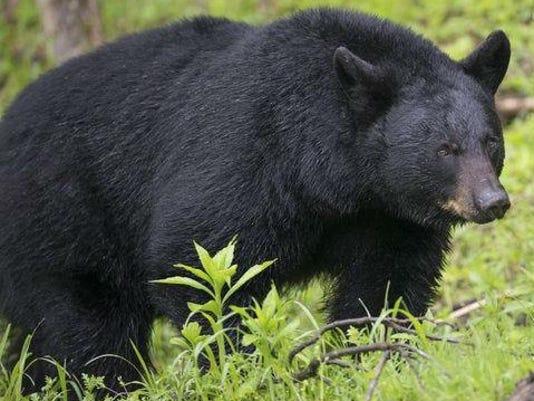 IMG_black_bear_2.jpg_1_1_NQFD4VHF.jpg_20160830.jpg