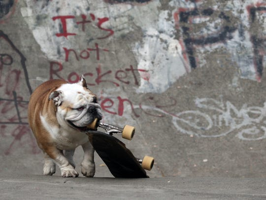 George the bulldog drags his board into position at Bainbridge Island's Strawberry Hill Park on Friday.