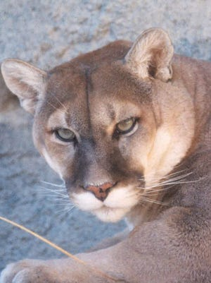 A cougar, commonly called mountain lion, can weigh up to 200 pounds and reach 7 feet in length.