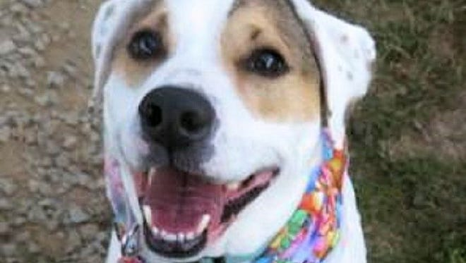 ADOPT LOLA: Lovely Lola is a sweet 3-year-old Labrador Retriever/Terrier mix available for adoption at Williamson County Animal Center. Her snow white coat is beautifully marked with tan patches and speckles. Lola is housebroken and is an affectionate, good-natured dog. Lola is great with people of all ages and other dogs, but she does need a home without cats. Lola is heartworm positive and is being treated at the shelter. Learn more at www.adoptwcac.org.