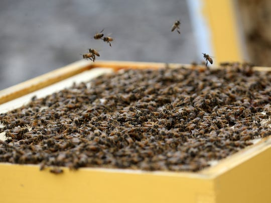 About 5,000 honeybees have been given a home on the