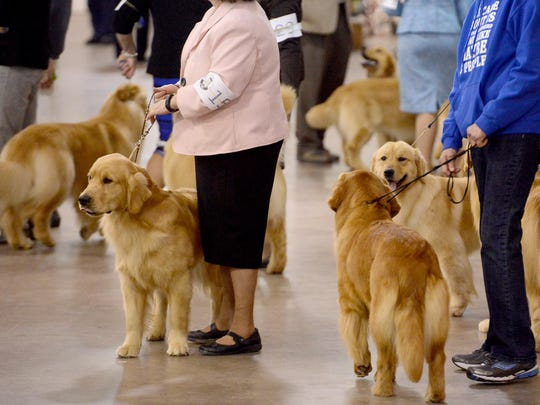 Golden Retrievers wait with their handlers to be presented Saturday at the Jackson Tennessee Dog Fancier's Association AKC All Breed Dog Show at the Jackson Fairgrounds.