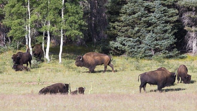Michael Chow/The Republic A herd of bison graze on a field in the Kaibab National Forest near Fredonia. A herd of bison graze on a field in the Kaibab National Forest near Fredonia.