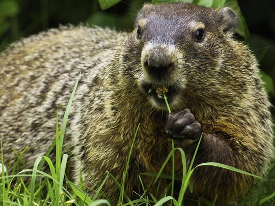 You do not need a hunting license to kill a problem groundhog.