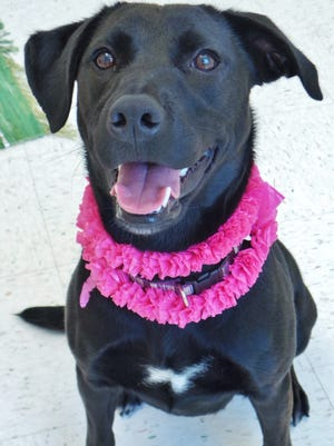 Lola is a 1-year-old lab mix who was surrendered to the shelter due to landlord issues. She's an active girl who will need a home that can provide her plenty of exercise. She will also need to be the only dog in the house. If you think you have the place for Lola, please stop out to meet her.