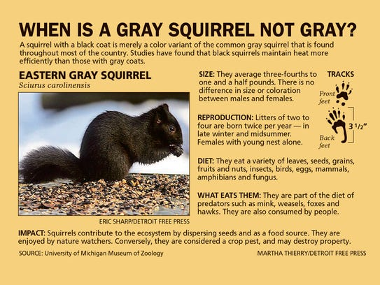 When is a gray squirrel not gray?
