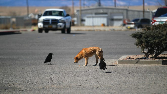 A dog finds something to eat on Monday while birds look on at the City Market parking lot in Shiprock.