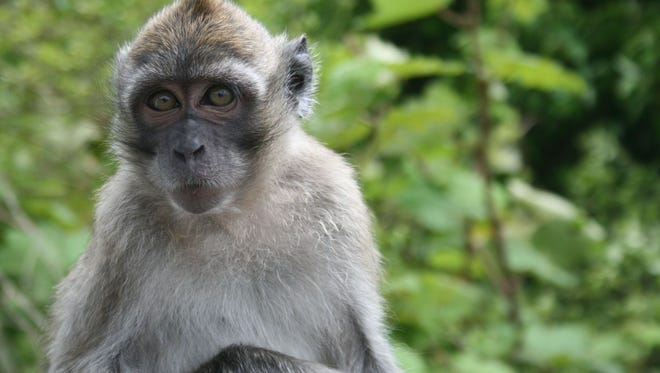 The fate of a monkey farm intended to house long-tailed macaques from Mauritius may be decided inn Hendry court Tuesday