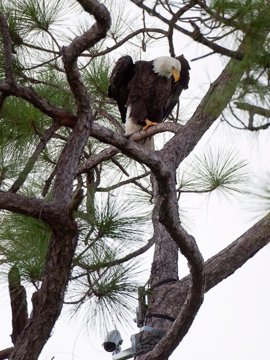 Primary Bald Eagle Nesting Areas Within The Ouc Service Area As Identified By Spatial Model