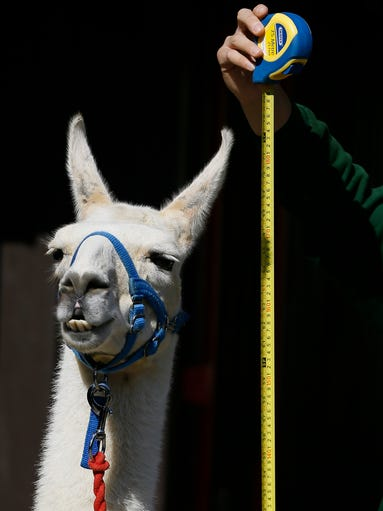 Animals: Always cute, often unimpressed. This was evident at the London Zoo weigh-in on Aug. 21, the annual event in which animals are weighed, measured and examined for health. USA TODAY Network imagines what they're thinking during the ordeal.