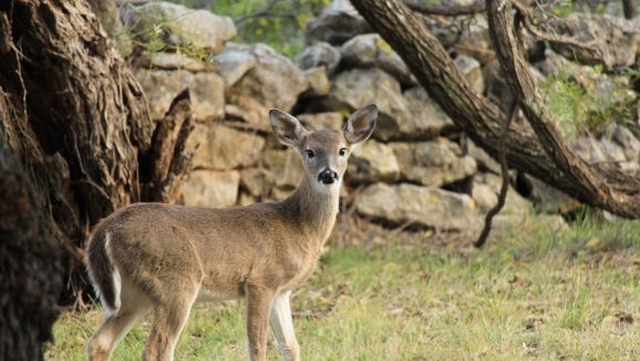 The white-tailed deer (Odocoileus virginianus) belongs to a family known as Cervidae that is distributed worldwide, and comprised of 43 species — three of which are native to Texas.
