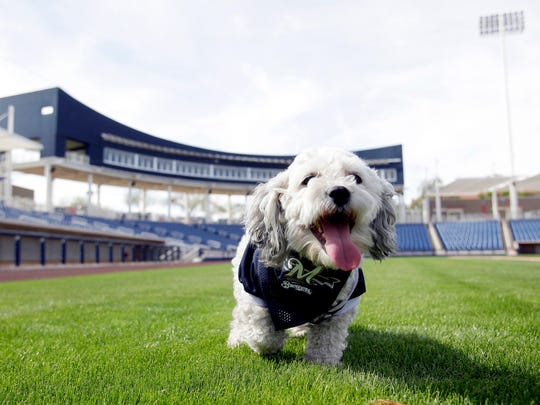 "In this Feb. 22, 2014, photo, Milwaukee Brewers mascot, Hank, is at the team's spring training baseball practice in Phoenix. The team has unofficially adopted the dog and assigned the name ""Hank"" after baseball great Hank Aaron."