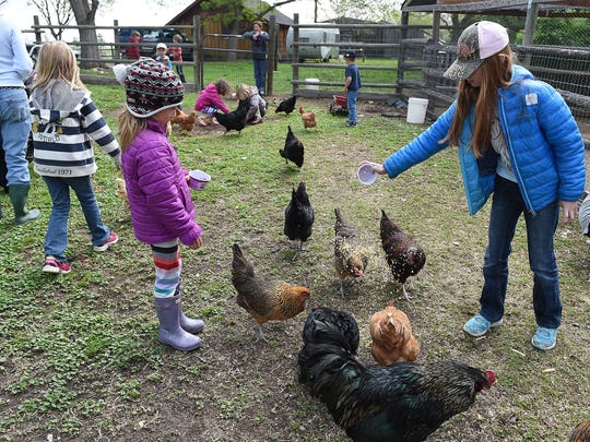 Savannah Smith, 9, feeds chickens at Laughing Buck