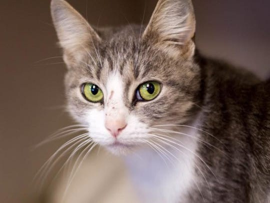 Rickie is an adult male domestic short hair with stunning
