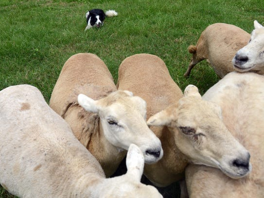 A border collie named Gylen herds sheep at Asher-Dell