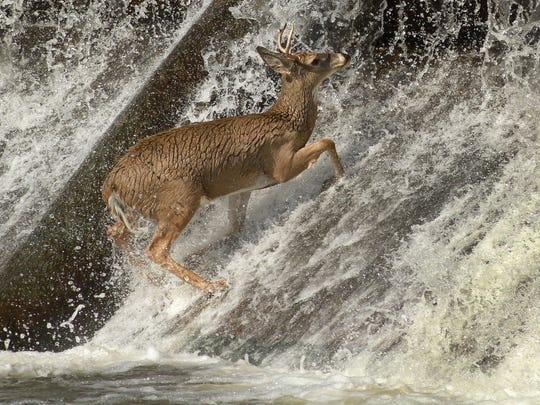 A young white tail deer tries to jump up the Des Moines River at the Center Street Dam in Des Moines in 2011.