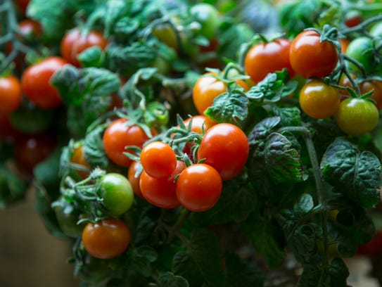 A tomato variety called Tiny Tim, under grow lights