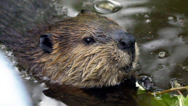 A beaver attacked a large dog in Medford Wednesday, leaving the canine with a serious gash in its hind leg. Authorities say pet owners should be on the lookout for wildlife.