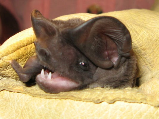 Florida bonneted bat