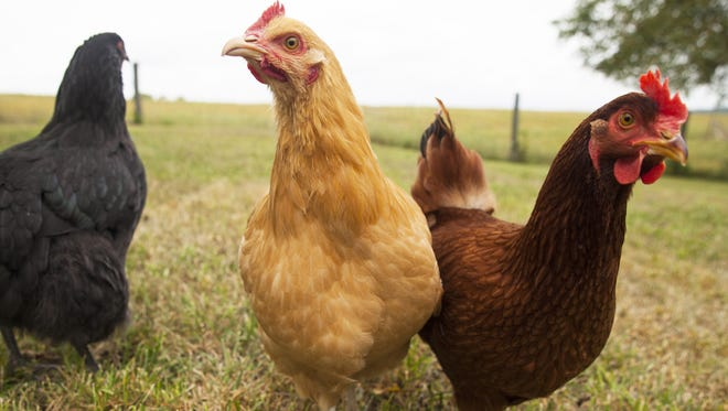 Some of Tamara Funk's chickens wander through the backyard at her home in Fishersville on Sept. 9.