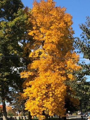 One of the many colorful trees of fall.