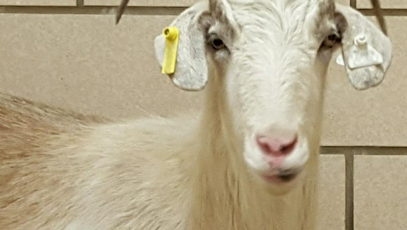 The University of Iowa's research goat that eluded