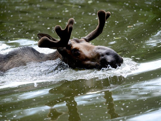 Meeko, a 2-year-old bull, swims in the pond in Potter Park Zoo's new moose exhibit. Meeko and Willow, a 3-year-old cow, were abandoned calves in Alaska before being brought to Potter Park, one of nine zoos in the country to feature moose.