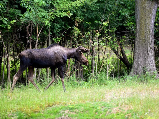Meeko, a 2-year-old bull, walks toward the pond in Potter Park Zoo's new moose exhibit Monday. Meeko and Willow, a 3-year-old cow, were abandoned calves in Alaska before being brought to Potter Park, one of nine zoos in the country to feature moose.