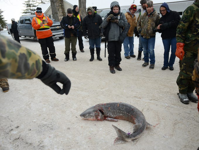 People crowd around a lake sturgeon waiting to be weighted