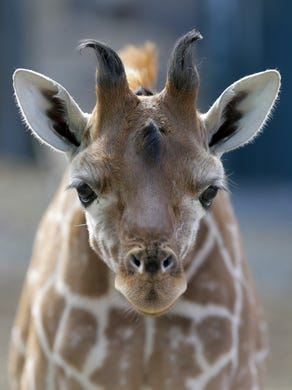 2017: Xena, a baby giraffe born on January 1, is curious about the sound of the camera at Six Flags Great Adventure and Safari in Jackson, NJ Monday February 27, 2017.