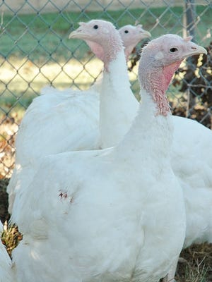 As the holiday season approaches, consumers can expect lower prices on turkeys, other poultry and eggs compared to last year.